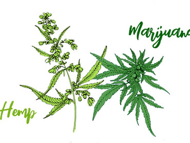 What is the Difference in Hemp and Marijuana?