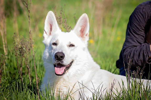 White Swiss Shepherd shortcoat stud dog