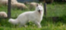 Dreamworks Buster McGeah | Witte Herder dekreu