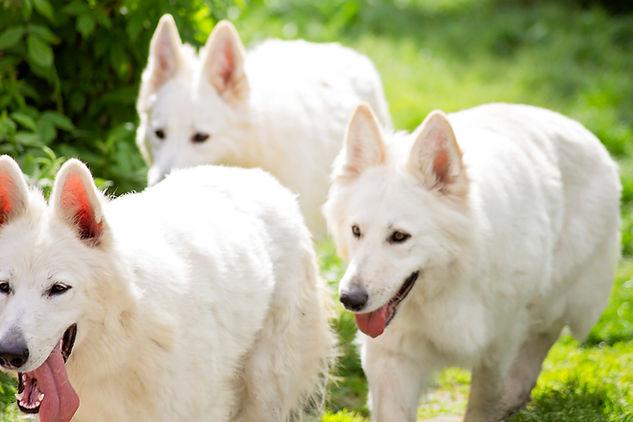 White Swiss Shepherd female