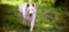 Ralph Lauren at Dreamworks   Witte Herder puppy puppies