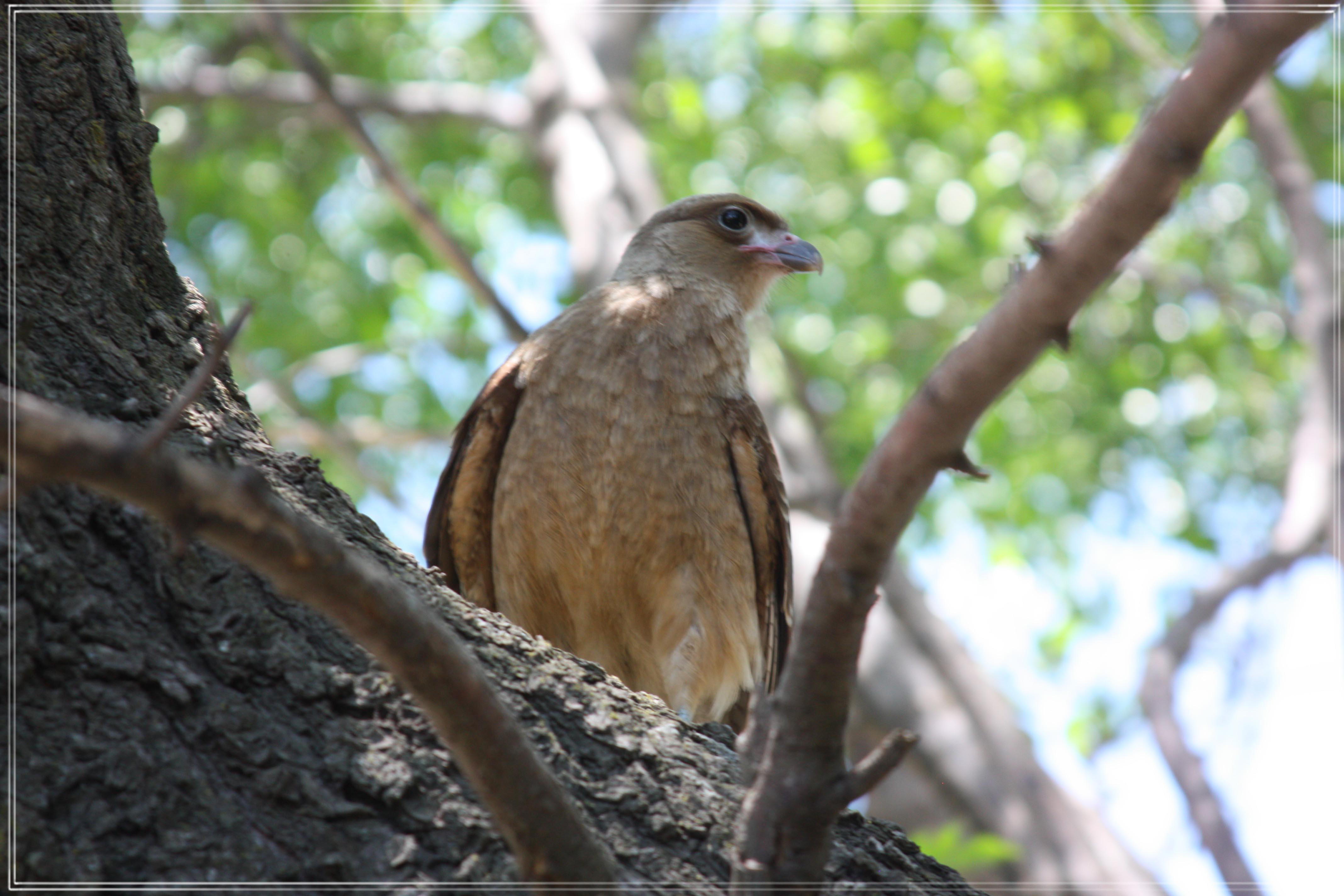 Argentinian Raptor