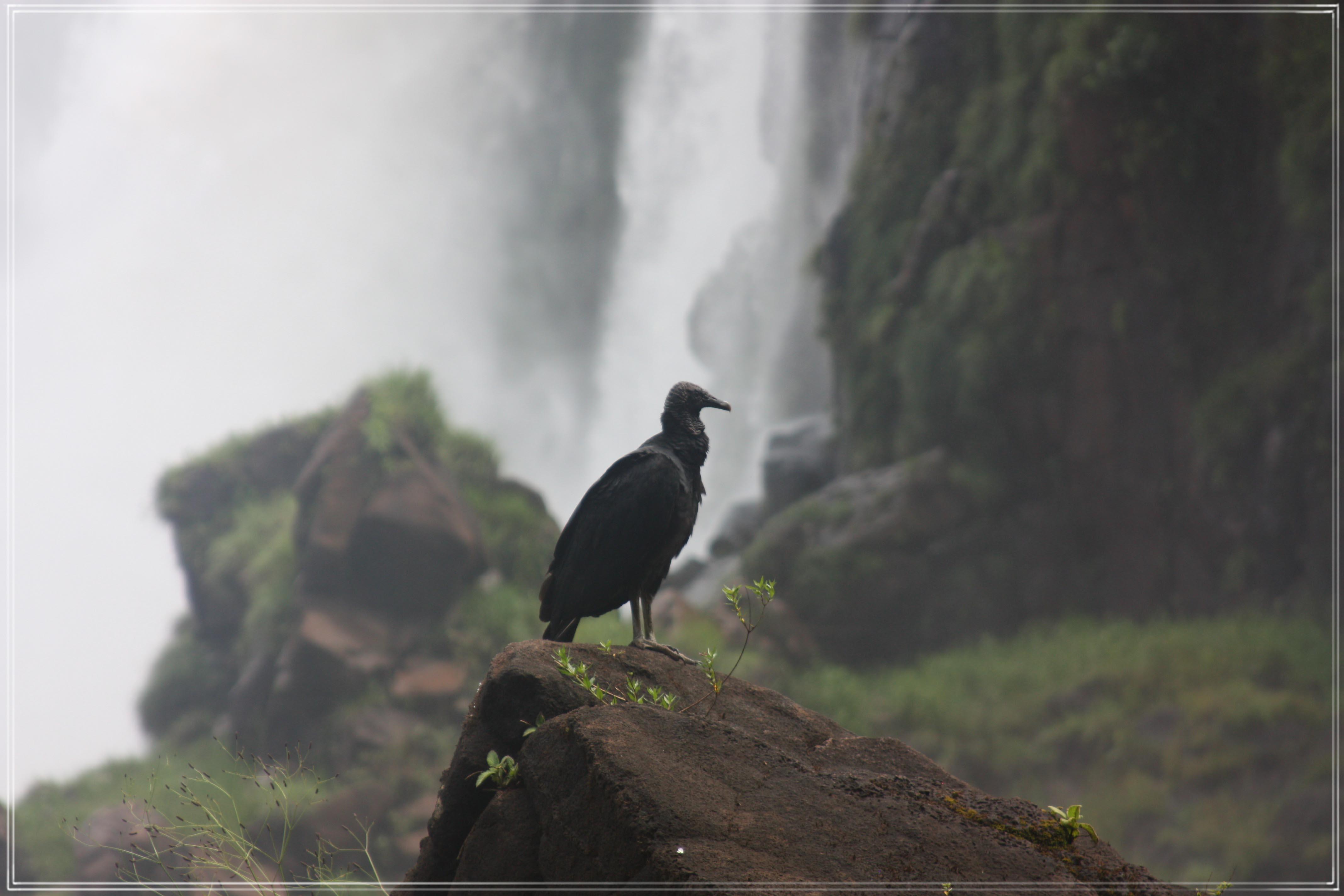 Iguazu, Black Vulture