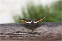 Wet Butterfly