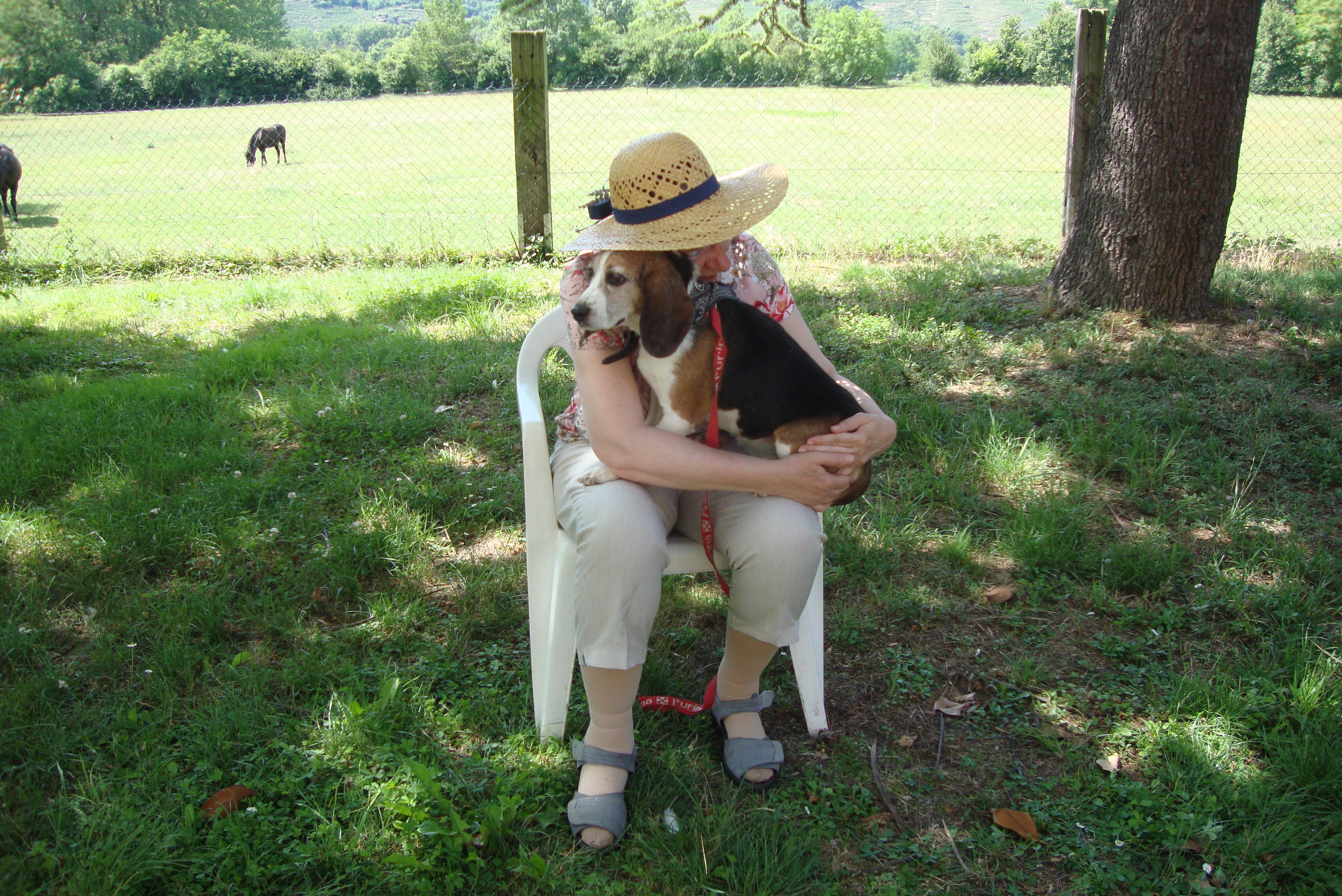 Une beagle de labo patiente
