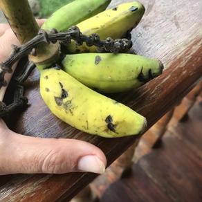 Die kleinste Banane der Welt?