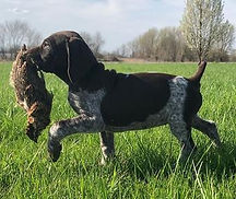 German Shorthaired Pointer Hunting Training