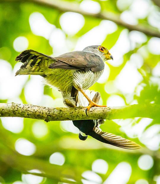 Little Hawk