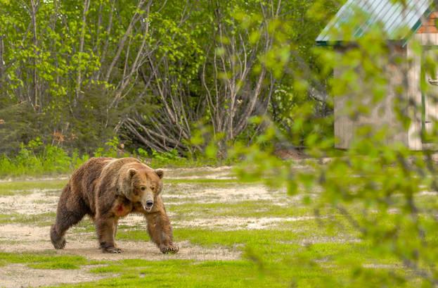 Brown Bear male