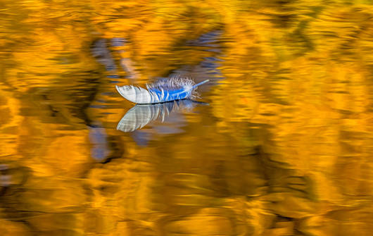 Swan Feather Reflection