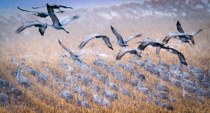 Sandhill Cranes in Snow