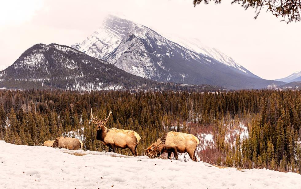 Elk and Banff