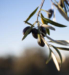 Greek-organic-olives-growing.jpg