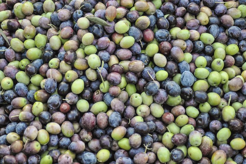 olives-harvest.jpg