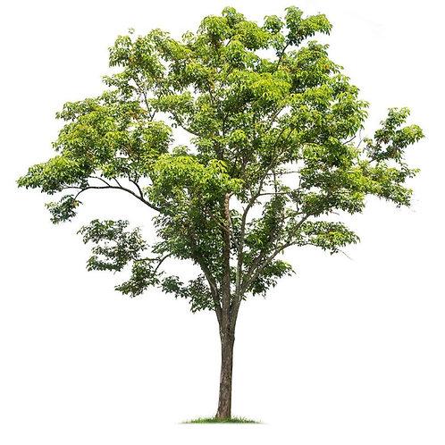 נטיעת עץ ביער