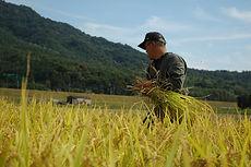 石田たくなり(石田卓成)稲刈り写真