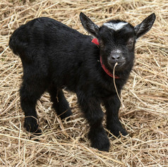 Baby goat with straw