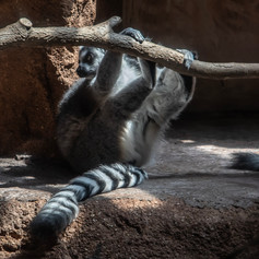Lemur hanging out