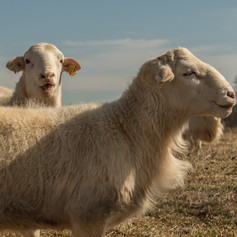 2 sheep