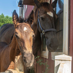 Mom and baby horses