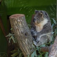 Koala holding baby