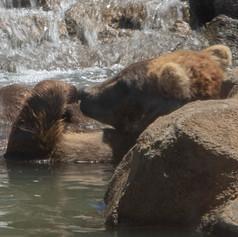 Bear relaxing