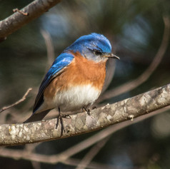 Eastern Bluebird on a branch