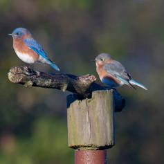 Eastern Bluebirds on a branch