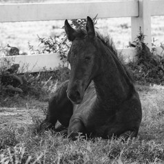 Black and white foal