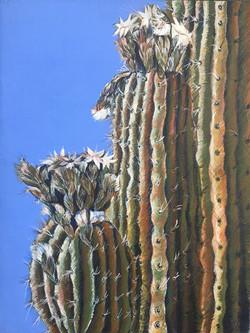 Saguaro Bloom