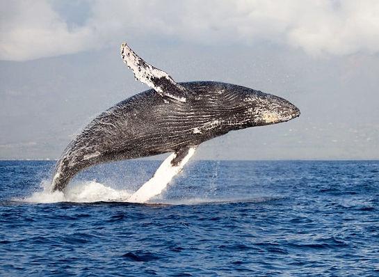 humpbackwhale-1000x730.jpg