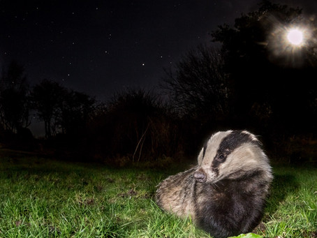 How I Captured a Badger Under the Moon