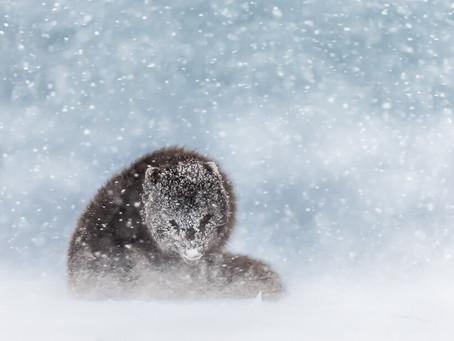 Arctic Fox Reached Nat Geo Shortlist