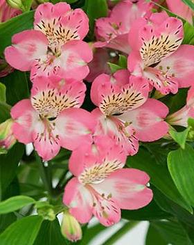 194798-425x398-Alstroemeria-flowers.jpg