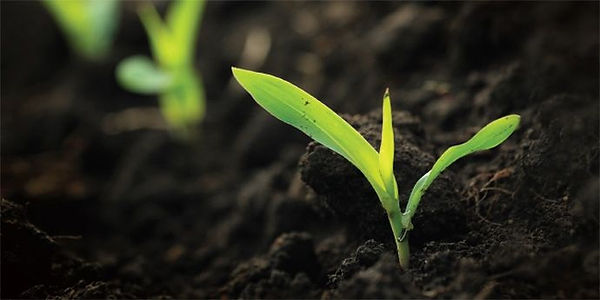 plantula.jpg