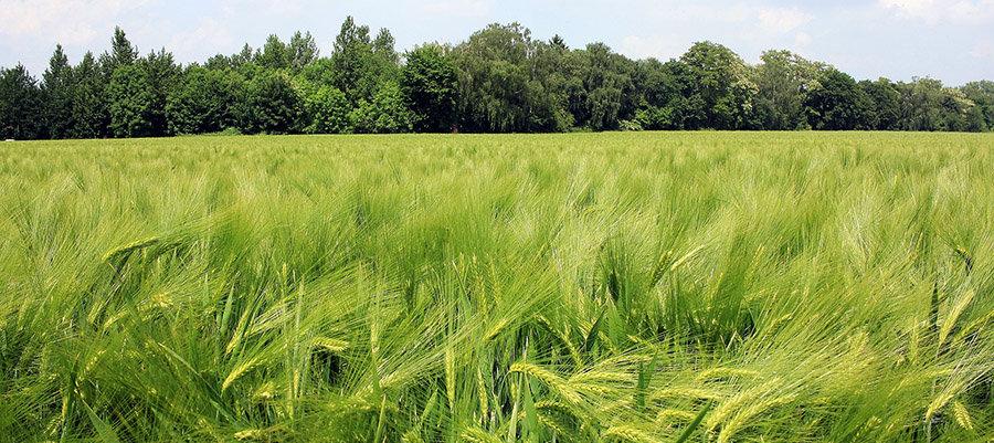 trigo-fosfitos-Gleba.jpg