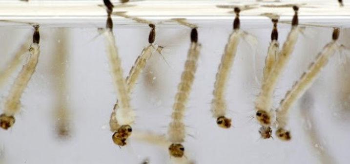 larvas%20aedes_edited.jpg
