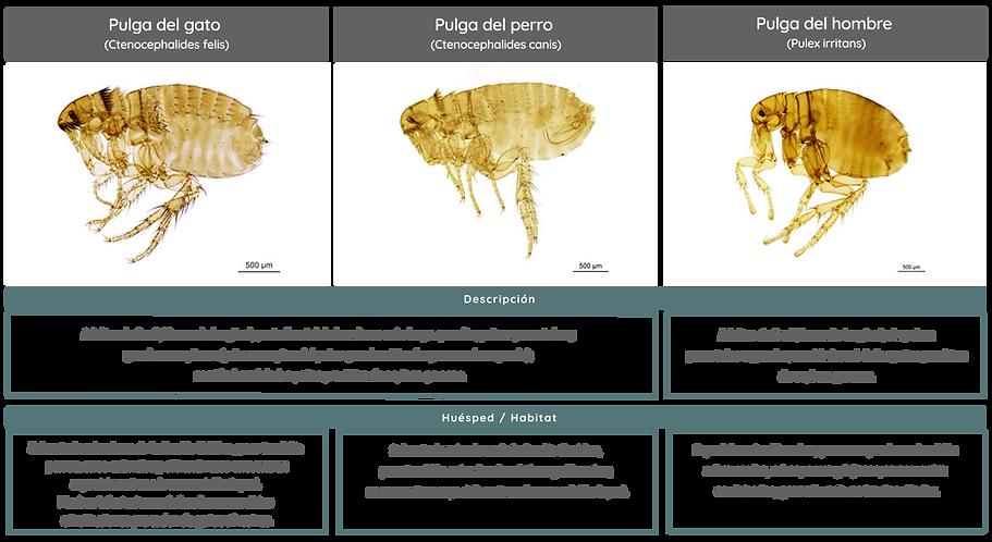 cuadro pulgas Gleba.png