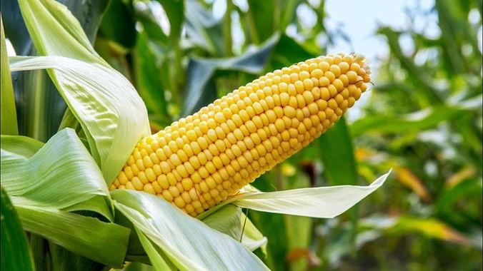 maiz - Gleba.jpg