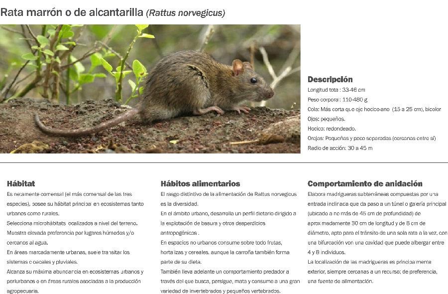 Rata marron.jpg