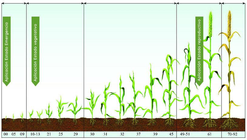 etapas-trigo-fosfitos-Gleba.jpg