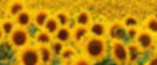 Gleba gisasol.jpg
