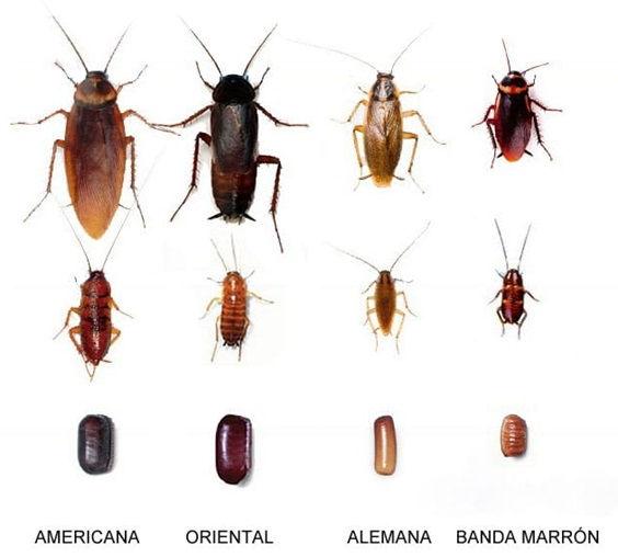 cucarachas tipos.jpg