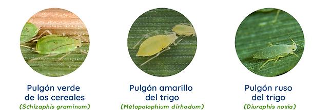 Gleba biotipos pulgones.png