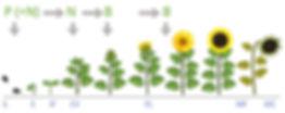 Gleba etapas fertilizacion girasol.jpg