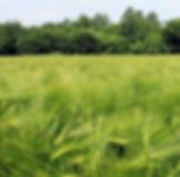 foliar-trigo-Gleba-px.jpg