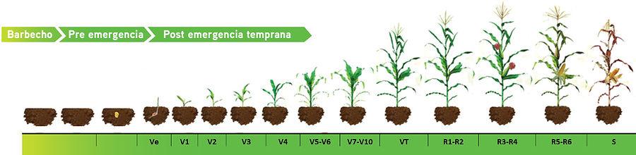 maiz-fenologia 1.jpg