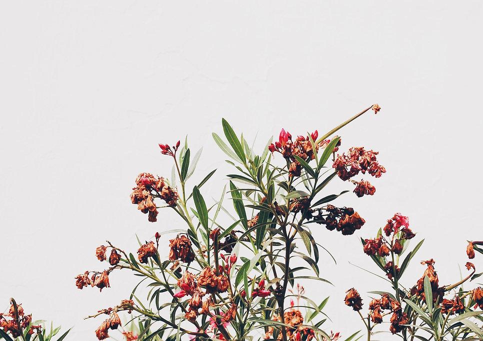 Flores Secas Floweh para decoraçāo