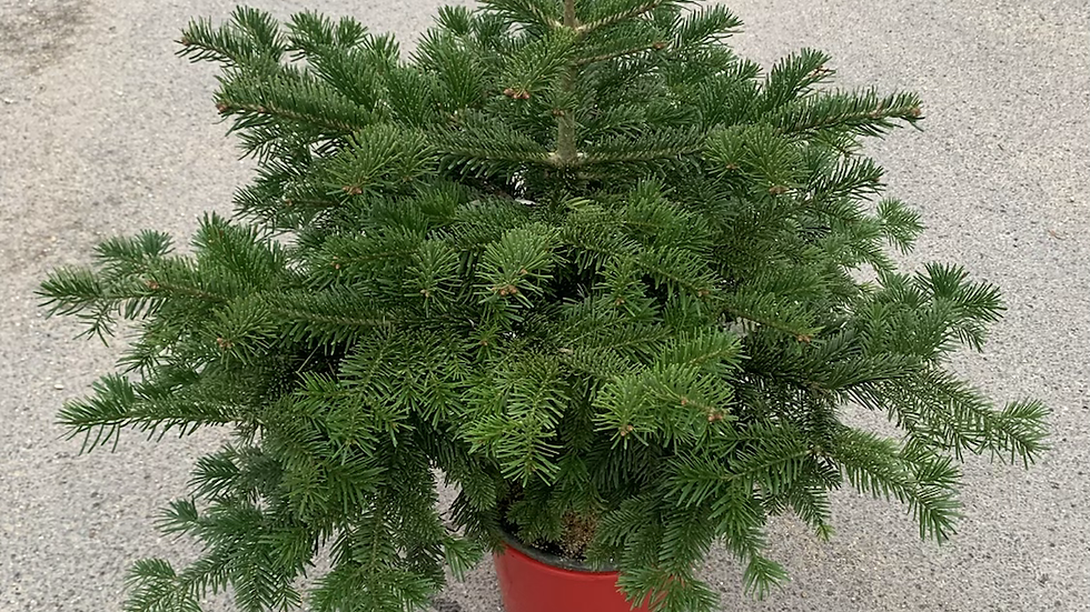 2/3ft Pot Grown Nordmann Fir