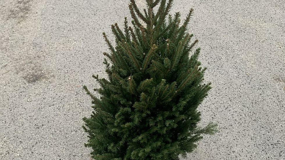 3/5ft Pot Grown Norway Spruce